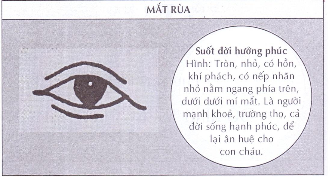 Mắt quy